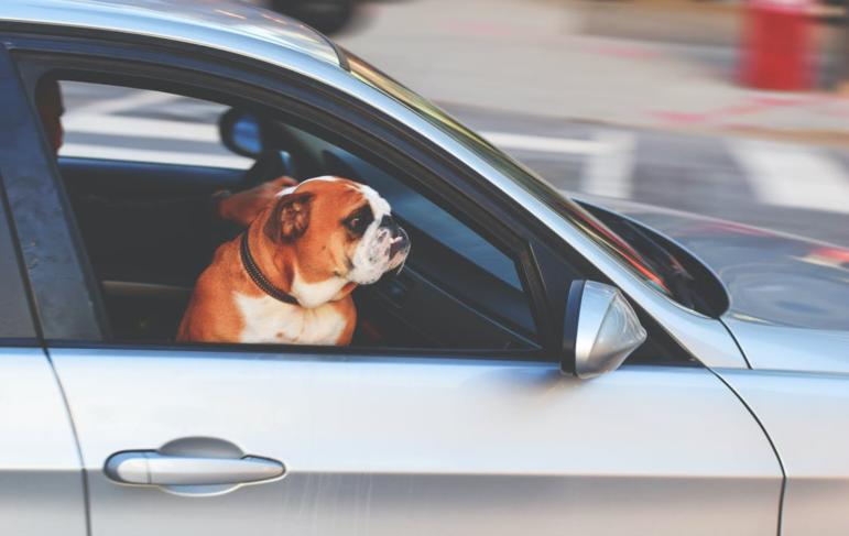 a sad dog in a car